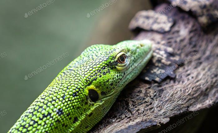 Emerald Tree Monitor Up Close