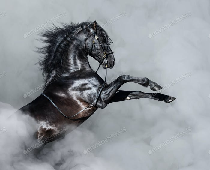Black Andalusian horse rearing in smoke.