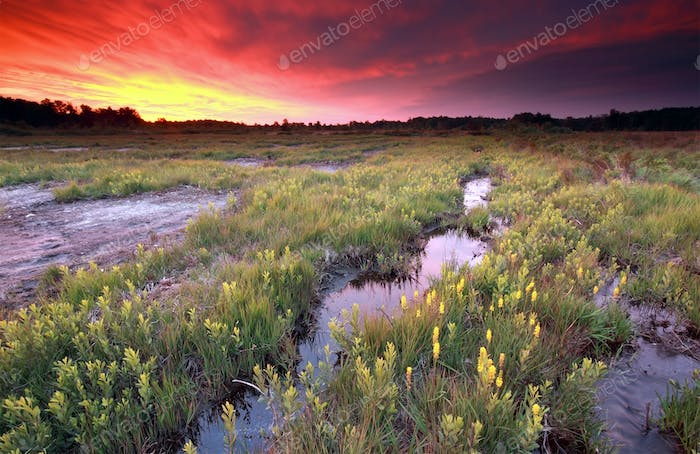 dramatic fire sunrise over moosland with bog asphodel