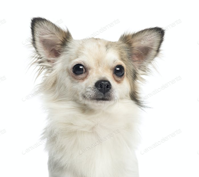 Close-up of a Chihuahua, 1 year old, isolated on white