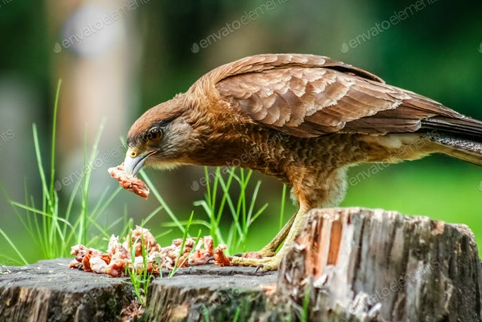 Patagonian Hawk feasting on leftovers