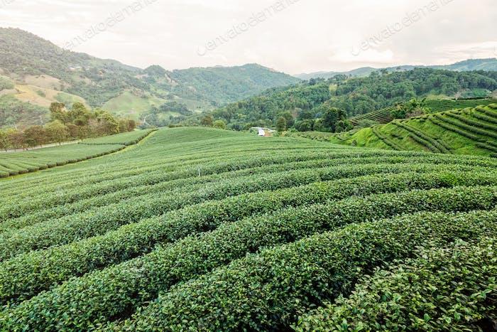 Landschaft der grünen Teeplantage