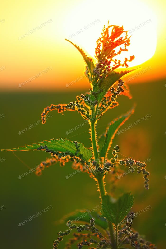 nettle flower at sunset in backlight