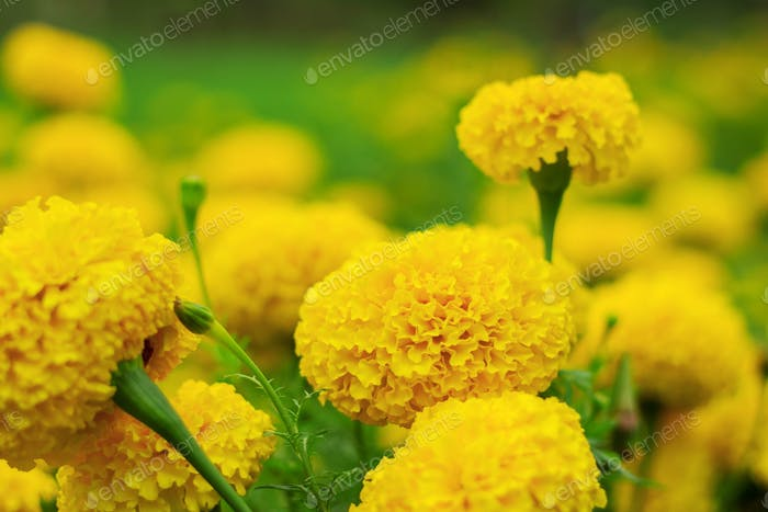 Yellow marigold with beauty
