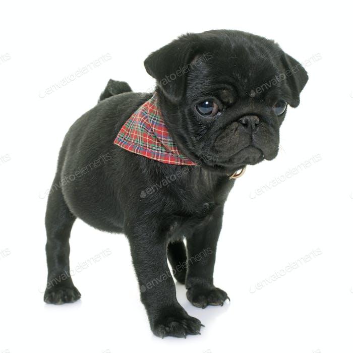 puppy black pug