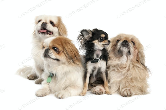 groupe of 3 Pekingeses and a chihuahua