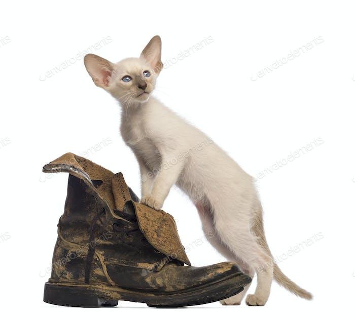 Oriental Shorthair kitten standing on dirty boot against white background