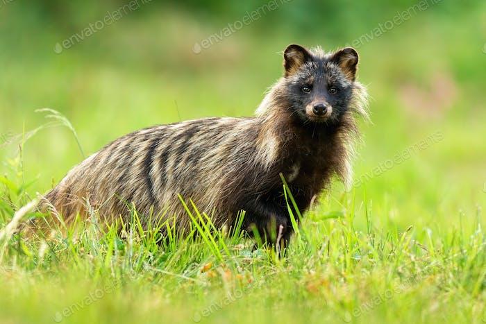 Interested raccoon dog facing camera in green natural environment