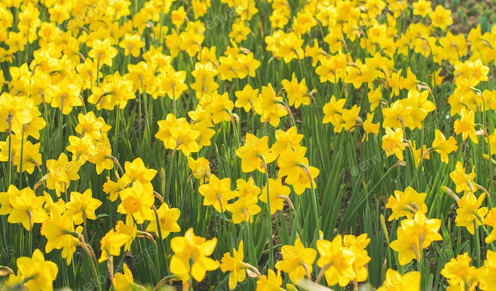Spring blooming yellow daffodils or narcissuses