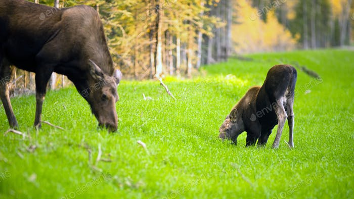 Female Moose Cow Calf Feeding On Grass Alaska Wilderness