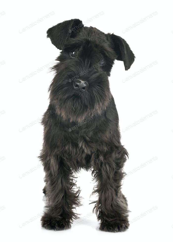 black miniature schnauzer in studio