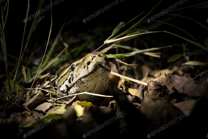 A python, Python sebae, peers its head out of some dry leaves, lit up by a spotlight