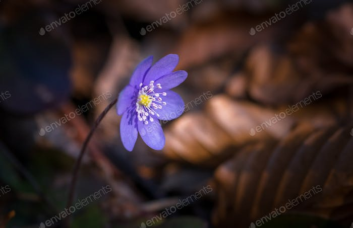 Purple flower in the forest in early spring