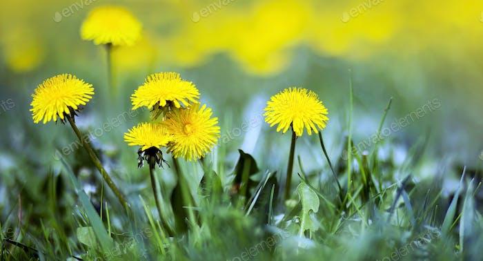 Life coaching concept - yellow dandelions
