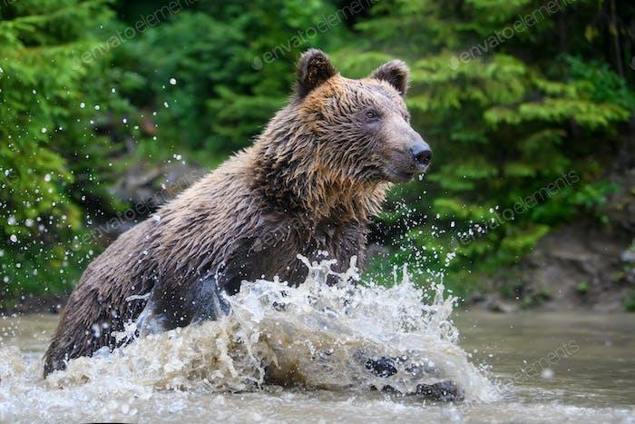 Wild adult Brown Bear (Ursus Arctos) splashing in the forest lake