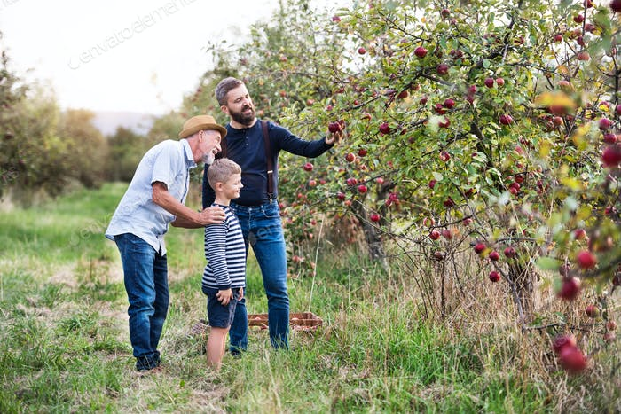 Small boy with father and grandfather picking apples in orchard in autumn.