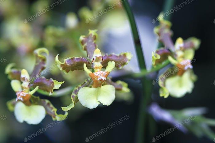 Wilde Orchideen wachsen in Costa Rica