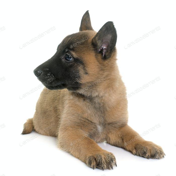 puppy belgian shepherd malinois