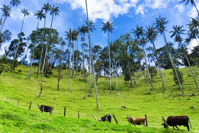 Cows, Wax Palms, Blue Sky
