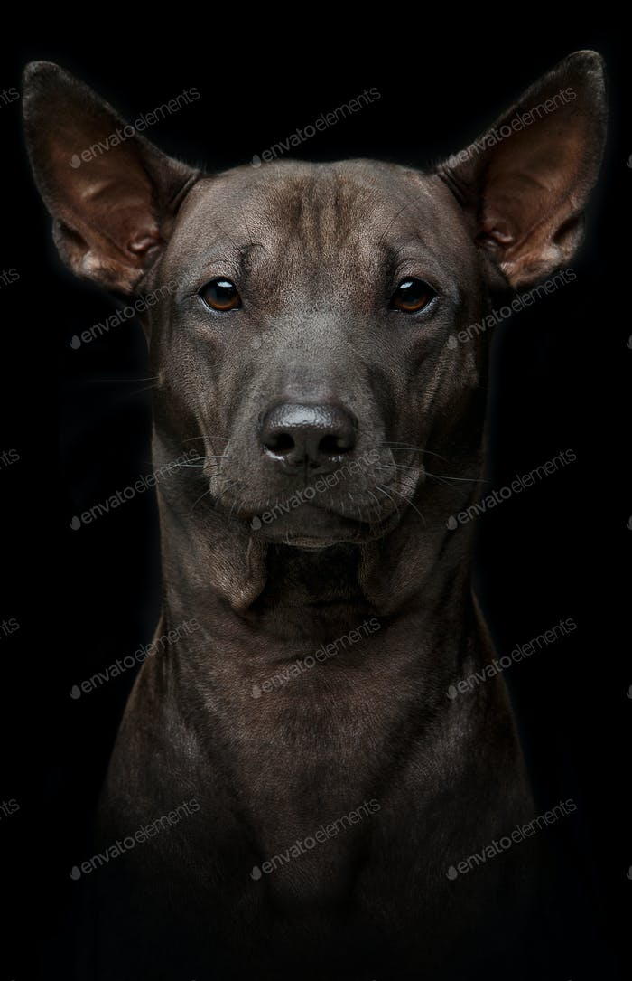 beautiful young thai ridgeback dog on black background