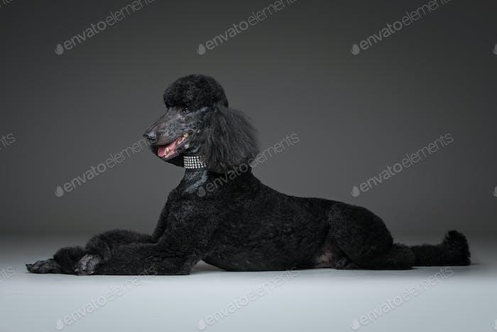 schöner schwarzer Pudel auf grauem Hintergrund
