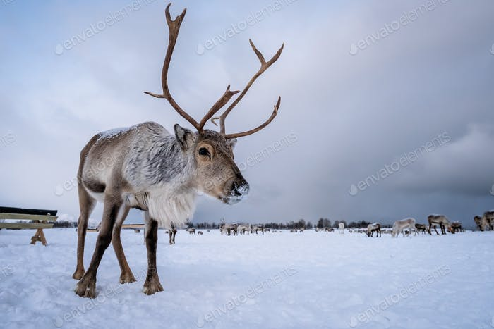 Portrait of a reindeer with massive antlers