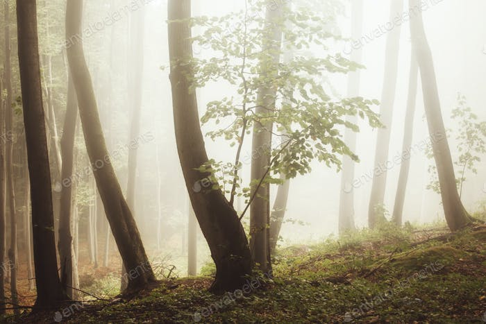 Misty woods with strange light