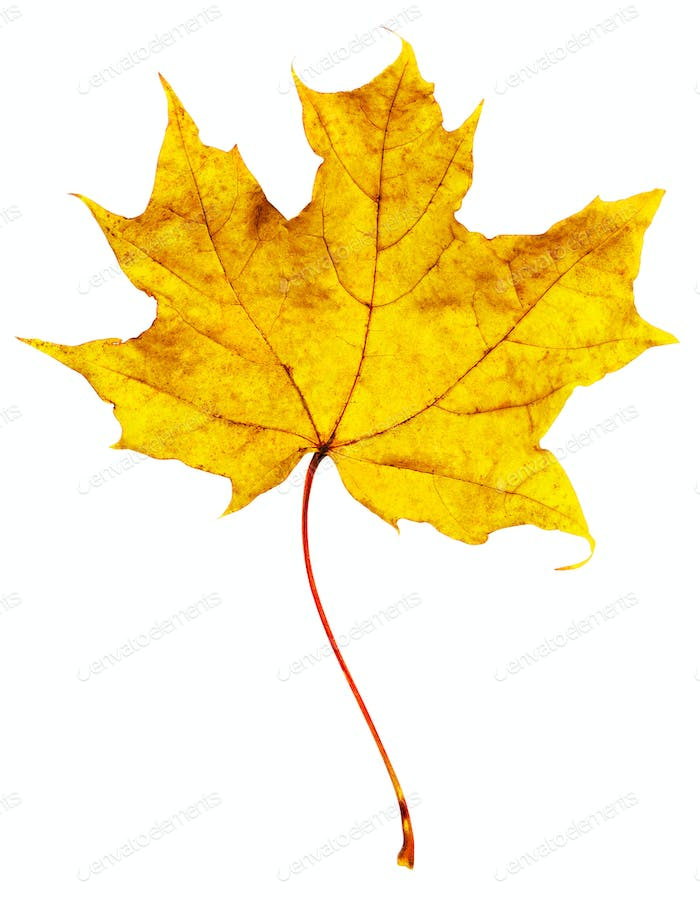 Yellow maple leaf carved