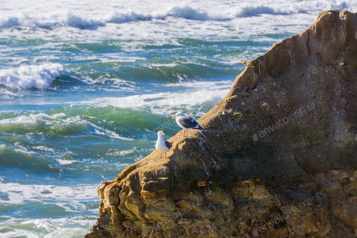 A pair of California gulls on a rock, Wilder Ranch State Park, California