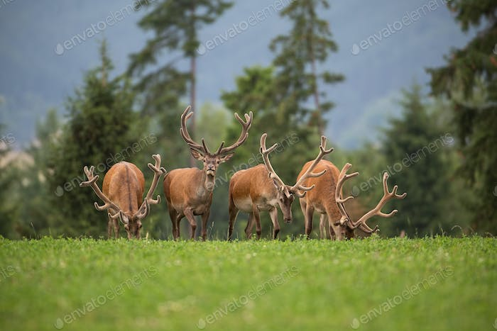 Herd of red deer stags with antlers in velvet