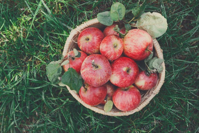 Basket with apples harvest on grass in garden, top view
