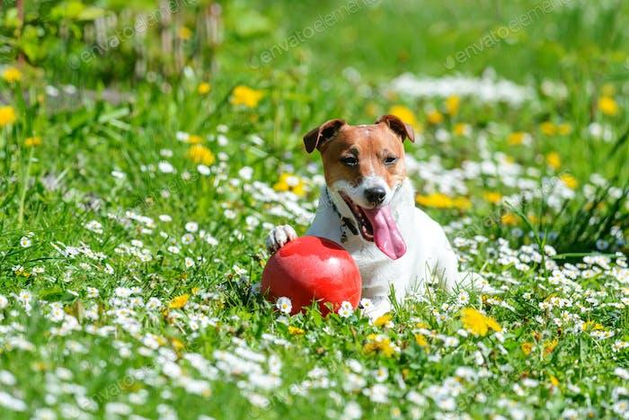 Jack russel terrier puppy on flower meadow