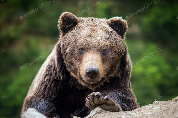 Brown bear (Ursus arctos) portrait in forest