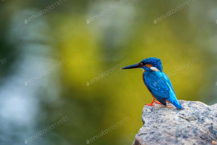 Kingfisher or Alcedo atthis taprobana
