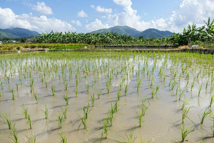 Grüne Reisfelder und Himmel