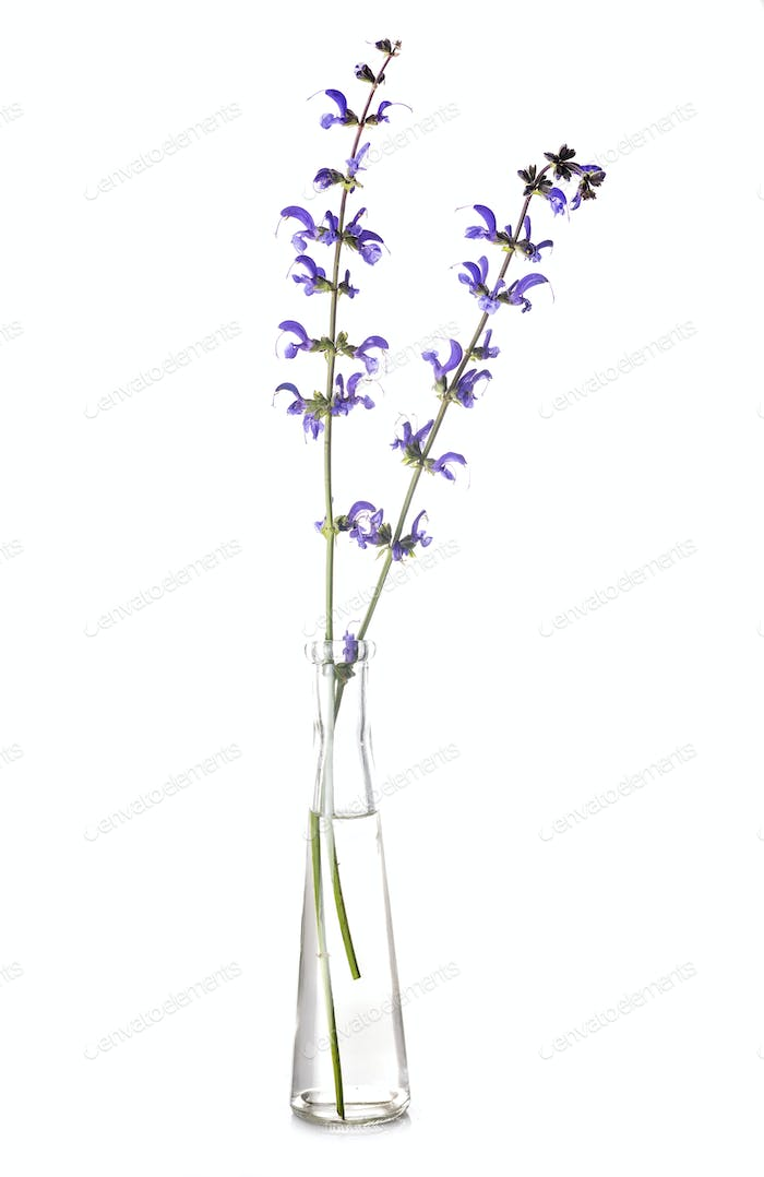 salvia in test tube