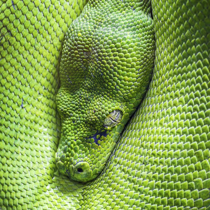green tree python eye