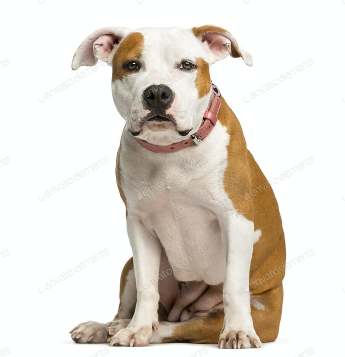 Staffordshire Bull Terrier puppy sitting in front of a white background