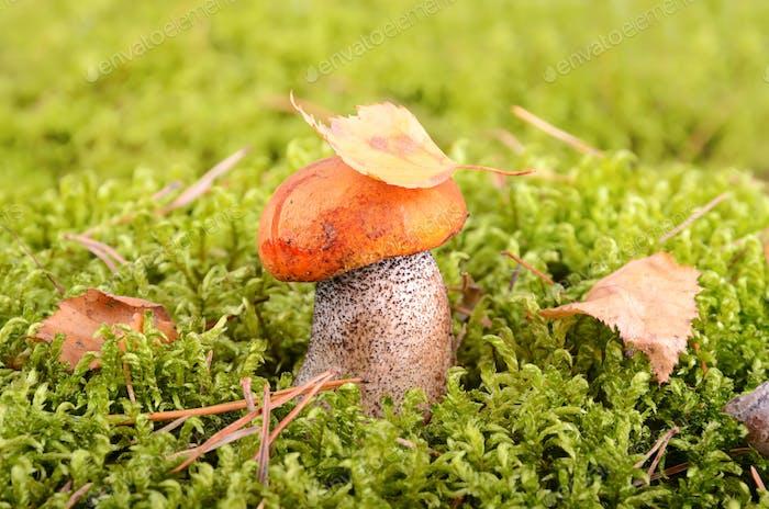 Mushroom in moss
