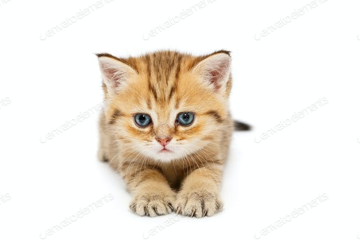 Small British kitten