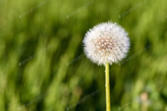 Seed head of dandelion flower
