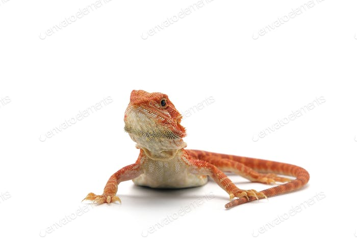 Thumbnail for Bearded Dragon isolated on white background