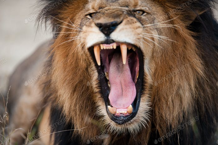 Angry roaring lion