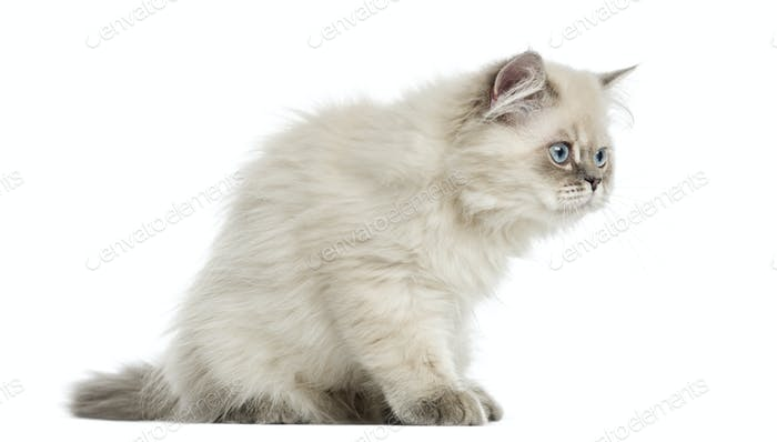 Side view of a British Longhair kitten sitting, alert,  5 months old, isolated on white