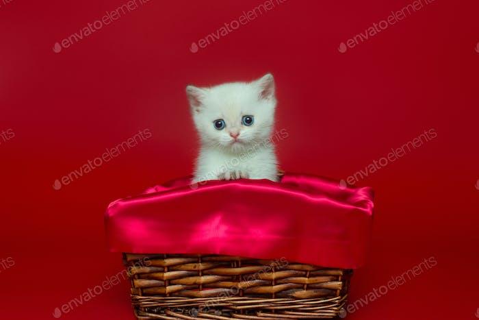 Weißes britisches Kätzchen in einem Weidenkorb