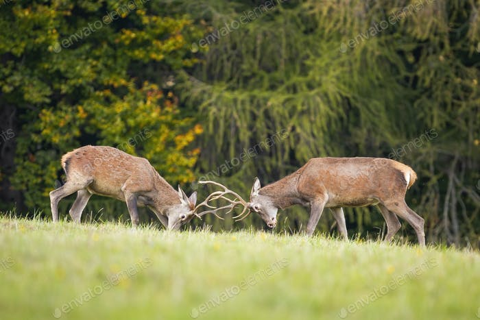 Two young red deer stags fighting in rutting season