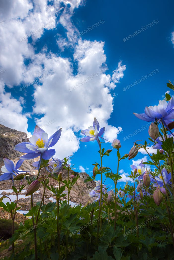 Colorado Columbine Aquilegia caerulea Blue Lake