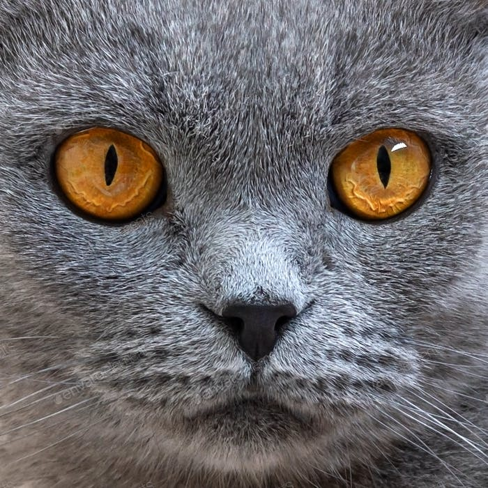 Portrait of gray scottish fold cat, close up. Focus on the beautiful orange cats eyes.