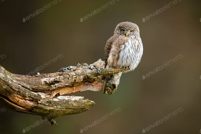 Concentrated little eurasian pygmy owl hunting from the lichen-covered old twig
