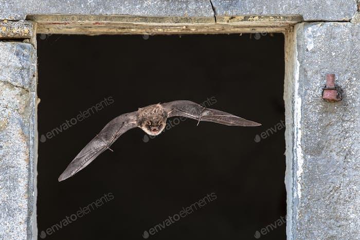 Natterers bat flying through window